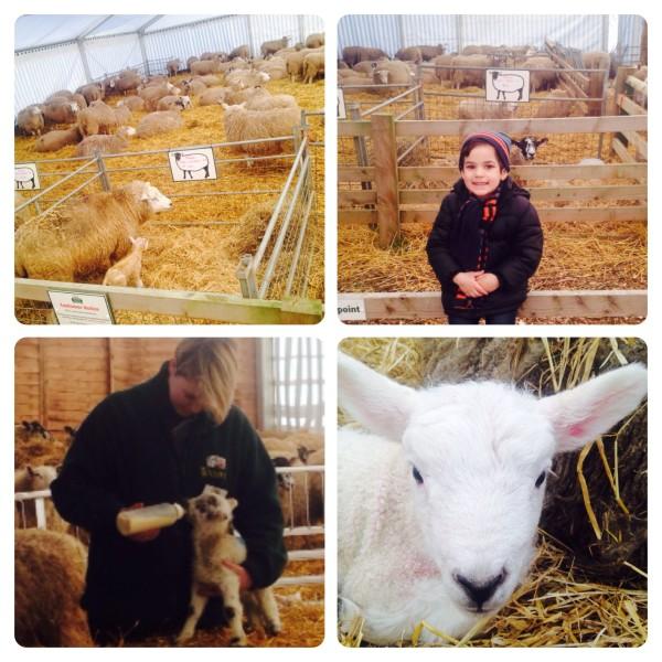 February Frolics Lambing Event