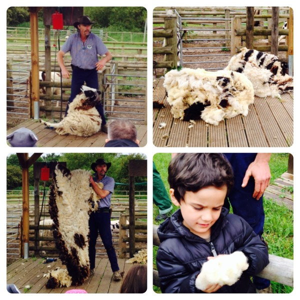 Sheep Shearing with Tuck the Shepherd