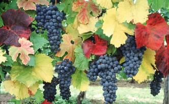 grapevine in garden